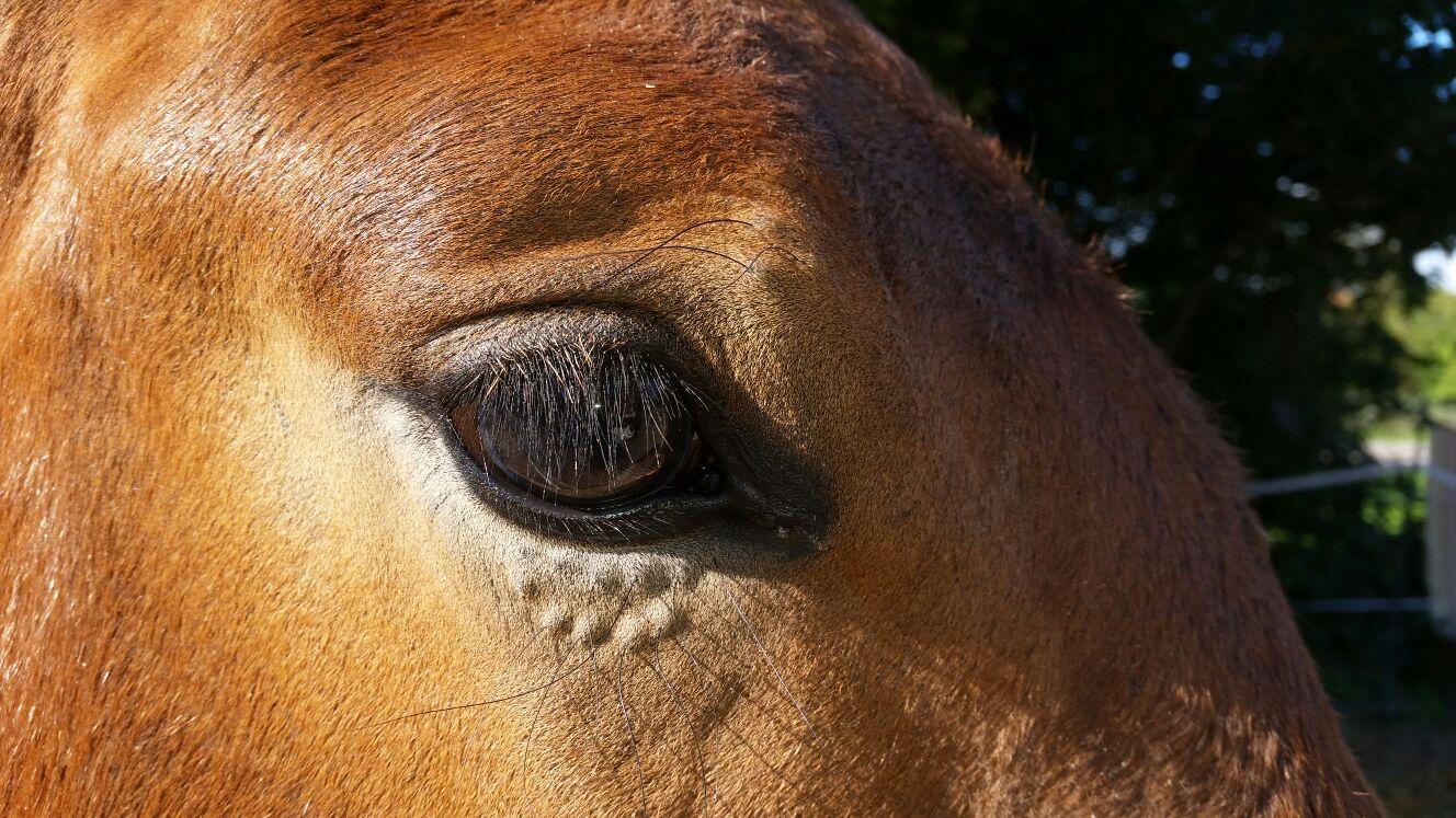 Polysaccharid-Speicher-Myopathie kurz PSSM – Ein Gendefekt, den jedes Pferd treffen kann.