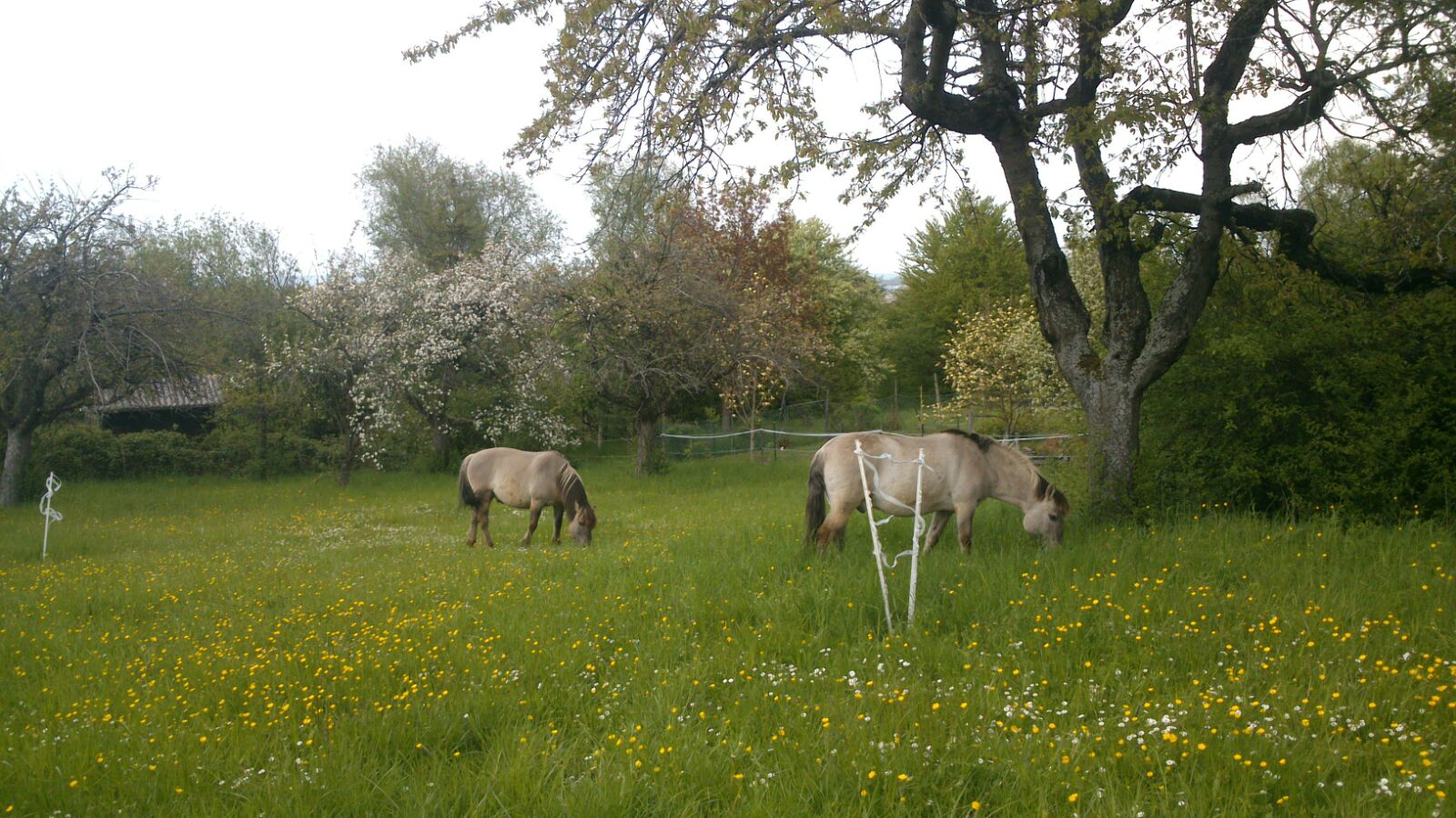 Vergiftungen von Pferden durch Gräsergifte – auch in Deutschland ein Thema